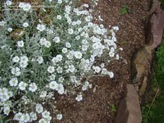 Very reliable plant-Snow in Summer for the problematic spot.
