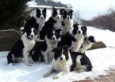 border collie flock