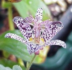 Tricyrtis maculata, the Japanese Toad Lily is probably one of the most unique flowering perennials available! Commonly known as Toad Lily, it has the ability to bloom in shade from late summer to earl