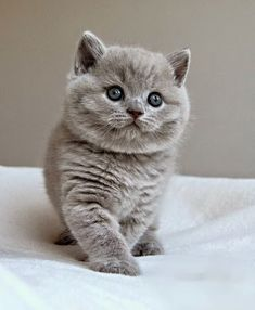 """The most popular cat breeds ever in the world and registers is the """"British Shorthair"""" , it has become the most expensive cat's in the world . Totally fury and wonderful pet ."""
