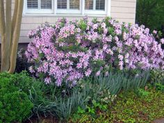How to prune azaleas for best blooms the next year