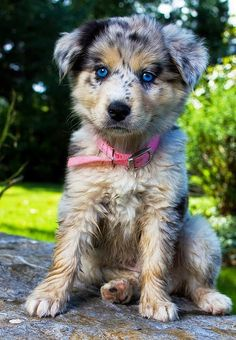 Top 10 Healthiest Dog Breeds Australian Shepherd in top 10 :) Animals And Pets, Baby Animals, Funny Animals, Cute Animals, Cute Puppies, Cute Dogs, Dogs And Puppies, Doggies, Aussie Puppies