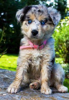 Blue Eyes Puppy #cute