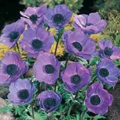 """The Blue Poppy Anemone is one of the loveliest shades of violet blue of any spring blooming flower! Each bulb produces 3-5 flowers that measure 2"""" across. Blooms are long lasting. Blue Poppy Anemone�"""