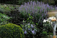 Anisisopen, blå hibiskusen  blodaxens