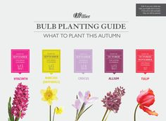 Our guide to when to plant bulbs for spring and some of the best varieties, from tulips to narcissi. Winter Colors, Summer Colors, When To Plant Bulbs, Daffodils, Tulips, November Flower, Planting Bulbs, Autumn Garden, English Roses
