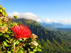Did you know Ohia Lehua is the official flower of the island of Hawaii? It grows in the moist uplands where rare honeycreepers feed on the nectar from its feathery looking blooms. We are fortunate enough to have a few trees growing in our Royal Grove! Next time you visit see if you can find them ;)