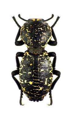 Zopherus nodulosus