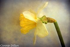 Sunny Spring Daffodil 85 x 11 Color Photograph  by ConnieDillon10, $23.00