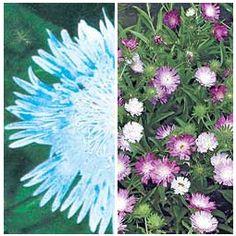 Stokesia Plants