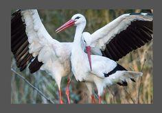 Storks, Poland, Wildlife, Fabrics, Birds, Holidays, Nature, Animals, Beautiful