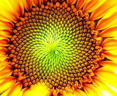 Sunflower core, #freshcityfarms, #naturepics, #DownsviewPark, #Toronto #Ontario, #Canada | Flickr - Photo Sharing!
