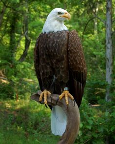 Most recent Pics birds of prey wings Concepts Like a wildlife regarding food professional photographer, the most crucial issue a lot of protest regarding i The Eagles, Where Eagles Dare, All Birds, Birds Of Prey, Aigle Animal, Bold Eagle, Eagle Painting, Eagle Pictures, Eagle Art