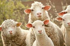 Die meisten Menschen teilen den Irrglauben, Schafe zu scheren sei notwendig, da die Tiere sonst unter zu viel Wolle litten. Dass der Grund für dieses übermäßige Wollwachstum der Mensch ist, genauer gesagt vom Menschen initiierte Qualzüchtungen, wissen hingegen die wenigsten.