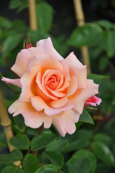 Large-Flowered Climbing Hybrid Tea Rose: Rosa 'Compassion' (U.K., 1972)
