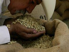 Raw coffee: El café después de retirar la pulpa, lavado y seco se almacena en sacos de yute para posteriormente separarlo de su última cascara antes de llevarlo al tostador. Se le conoce con el nombre de café PERGAMINO y tiene un olor muy peculiar que no se parece nada al aroma del café tostado. El café pergamino se puede almacenar hasta por un período de 10 meses en condiciones especiales sin que su calidad se vea afectada.