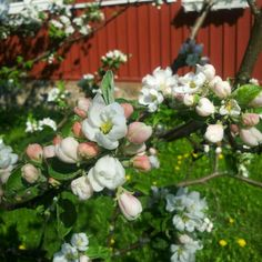 Appleblooms- my favorites!