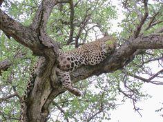 #sabisands #Kruger #krugernationalpark #africa #southafrica #safari #animallovers #animal #selva #selvage #jicelipospieka @pospieka