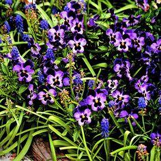 Make a statement in your garden with purple flowers. Find the best purple flowers for you: http://www.bhg.com/gardening/design/color/purple-flower-garden-ideas/?socsrc=bhgpin111313purpleflowers