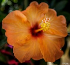 Orange Hibiscus © Popi Kmb