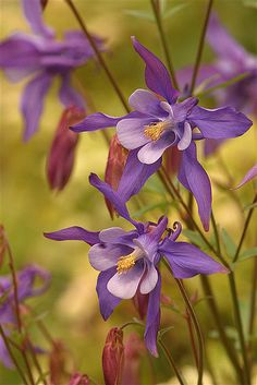 Columbine, Golden Gate Park...