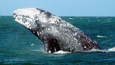 Gray whale, Eschrichtius robustus