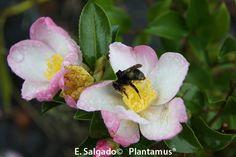 Camelia sasanqua versicolor http://www.plantamus.es/camelia-camellia/camelia-sasanqua-olorosa