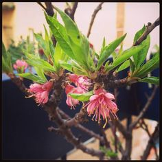 Pesco nano in fiore. Primavera: coming soon. #oltreilbalcone #buongiorno #green #blooming #spring #flower #peach #tree #urban #garden #Milan