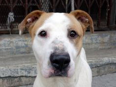 TO BE DESTROYED 1/21/14  Brklyn Ctr -P  STAR A0989471 Female wht & brwn pit mix 4 YRS old STRAY 1/13/14 Star is a sweetheart! Absolutely not a pit mix. Likely house trained, very friendly. Loves to be pet, very attentive. Not had her around other dogs much, but no problem passing cages -ignores  barking dogs. Would benefit from doggy socializing. NO issues with guarding and is just adorable. Star is longing just for a warm bed, a full bowl, and someone to love her forever! Is it you?