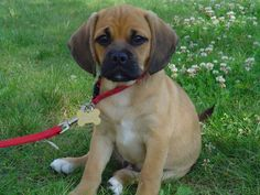 While I am posting trendy designer dogs, let's add the sweet Puggle (Pug + Beagle).  Let me add, in my fantasy, we get our next dog (someday!) like our last two....adopted.  Maybe this diminishes the chances of a trendy designer dog but I can daydream, yes? :)
