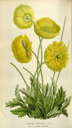 Papaver nudicaule var. flore pleno - circa 1855. Antique botanical yellow poppy illustration. gallica.bnf.fr