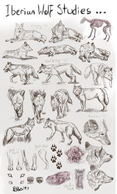 Iberian Wolf Studies:: by Tebyx on DeviantArt