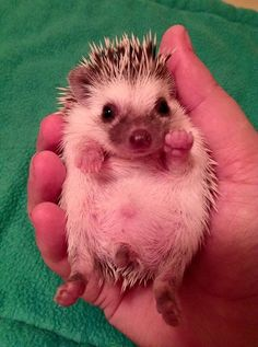 He wants to play Pattie cake! Baby Animals Pictures, Cute Animal Photos, Animals And Pets, Cute Little Animals, Cute Funny Animals, Cute Cats, Pygmy Hedgehog, Baby Hedgehog, Cute Creatures