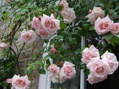 New Dawn Rose - rambler