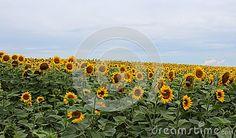 Lots of sunlowers on a field
