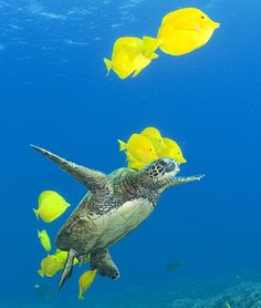 Once cleaning is complete, the yellow shoal swims off in search of their next customer