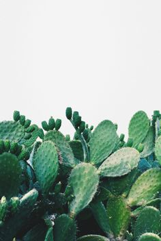 Prickly Pear Cactus against wall