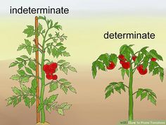 """How to Prune Tomatoes. When growing tomatoes, the ultimate goal is to help the plant yield as much ripe fruit as possible. If you're growing indeterminate or """"vining"""" varieties (Big Boy, Beef Master, most heirlooms), pruning your plants to. Growing Tomatoes Indoors, Tips For Growing Tomatoes, Types Of Tomatoes, Growing Tomatoes In Containers, Growing Plants, Growing Vegetables, How To Prune Tomatoes, Growing Cherry Tomatoes, Tomato Plant Care"""