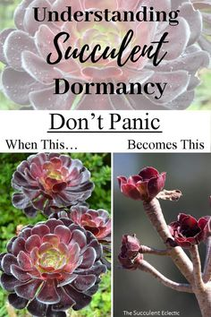 Understand Succulent Dormancy Do you know which succulents go dormant, when and why? Learn all about succulent dormancy and how to recognize plants that are dormant - and how to care for them. Propagate Succulents From Leaves, How To Water Succulents, Colorful Succulents, Growing Succulents, Succulent Gardening, Succulent Care, Succulents In Containers, Planting Succulents, Planting Flowers