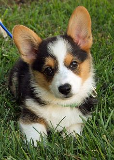 Miles the Pembroke Welsh Corgi Now how could I possibly be expected to resist a corgi named Miles????