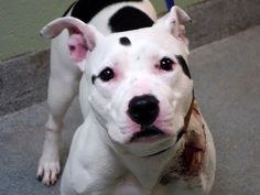 NYC -TO BE KILLED SAT OCT 19 ✮❤ ALEX #A0982013 ✮❤ #pit bull, female white/brown 3 YRS & 48.5 LBS. A STRAY on 10/13/2013 from NY 11207. lex needs one person to step up, she needs them to do so by noon tomorrow. If that person is found, please have them contact a New Hope Partner ASAP.