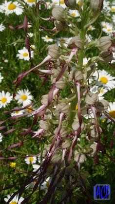 Orchidée sauvage / Orchidaceae Département de la Nièvre. Canton de Prémery.