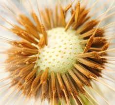 dandelion seeds by Jan Atle Monsen on 500px