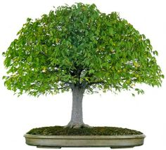 bonsaitoday: Gray Bark Elm Zelkova Serrata, Bonsai Today #26, Cover