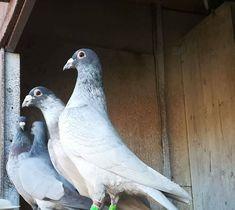 Pigeon Pictures, Homing Pigeons, Pigeon Breeds, Animals And Pets, Parrot, Racing, Birds, Pigeon, Little Birds