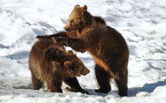 Bear cubs playing ..