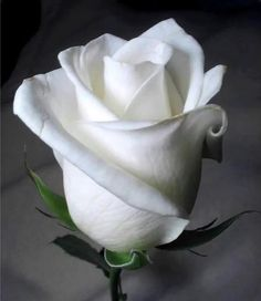 A rose, white as the moon.....