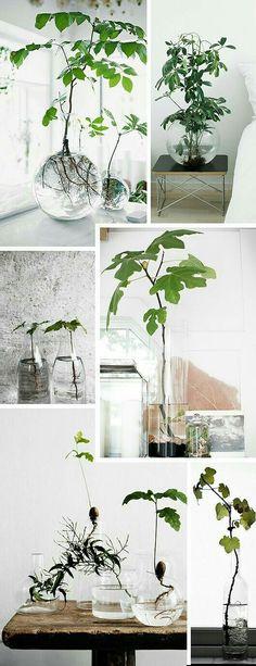 What Is Hydroponic Gardening - Urban Gardening Trend Alert: Rotade växter i glasvas Hydroponic Gardening, Hydroponics, Indoor Gardening, Urban Gardening, Plantas Indoor, Plant In Glass, Deco Nature, Decoration Plante, Deco Floral