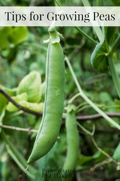 Tips for Growing Peas in Your Garden: How to grow peas from seed, how to transplant pea seedlings, how to care for pea plants, when and how to harvest peas.