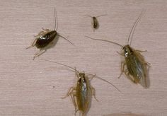 Baby Roaches Risks, Consequences & What to Do About Baby Roaches in Kitchen